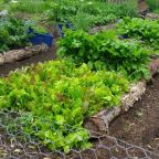 Harvest and Succession Plant Your Homestead Potager