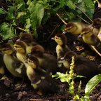 Brooding Ducklings